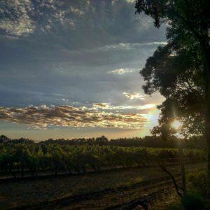 Viñedos, viñedos y mas viñedos. Es un paisaje repetitivo en Margaret pero no importa. Uno es mas lindo que el otro. Y mas cuando se esta poniendo el sol   .  Margaret River,  . . #unavueltaporeluniverso #margaretriver #vineyard #southwest #wa #westernaustralia #australia #instagram #instatravel #travel #traveler #traveling #travelingram #livingthedream #nomad #nomadlife #backpacker #backpackerlife #mochilero #vidanomade