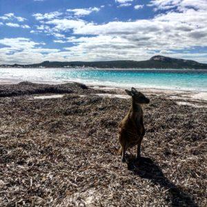 We met a little friend at the beach ♂️ .  Lucky Bay,  . . #kangaroo #luckybay #capelegrand #unavueltaporeluniverso #esperance #wa #westernaustralia #australia #aussiedays #instagram #instaphoto #instatravel #aussie #travel #traveling #travelblogger #blog #nomad #nomade #nomadlife #backpacker #backpackerlife #mochilero #vidanomade